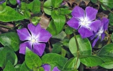 La rondine dei fiori
