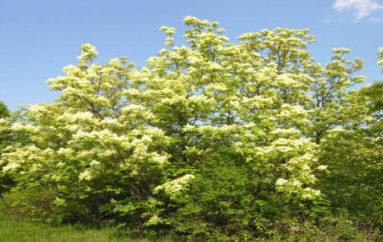 L'albero della manna