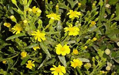 Una pianta dalla lunga fioritura