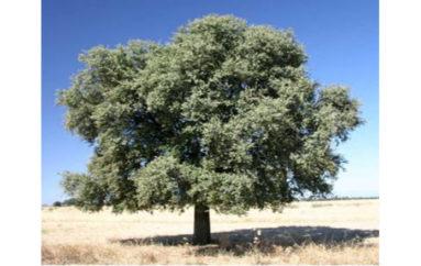 Una leggendaria pianta mediterranea