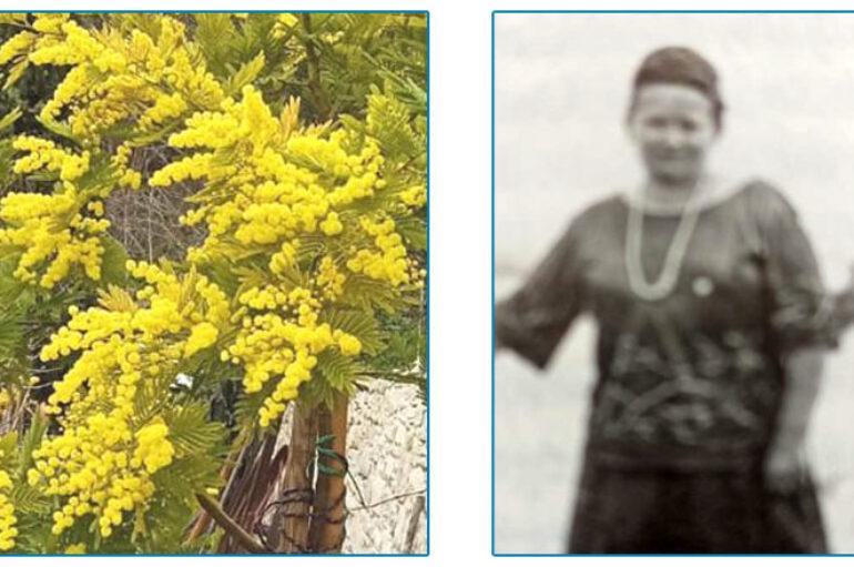 Mimose per le nonne